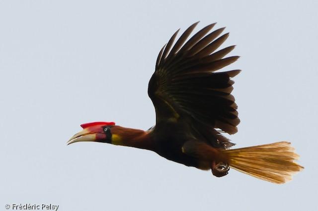Rufous Hornbill (Southern)