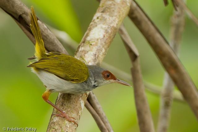 Rufous-fronted Tailorbird