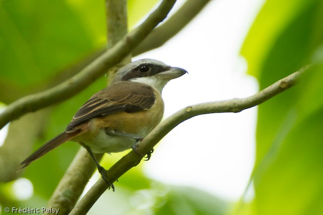 Brown Shrike (Philippine)
