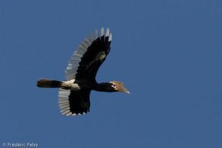 - Brown-cheeked Hornbill