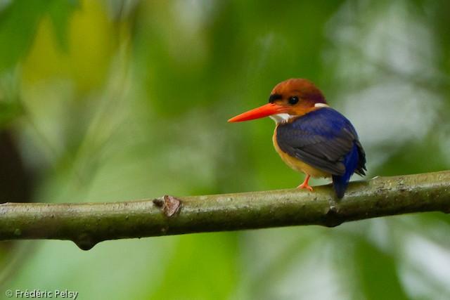 African Dwarf Kingfisher