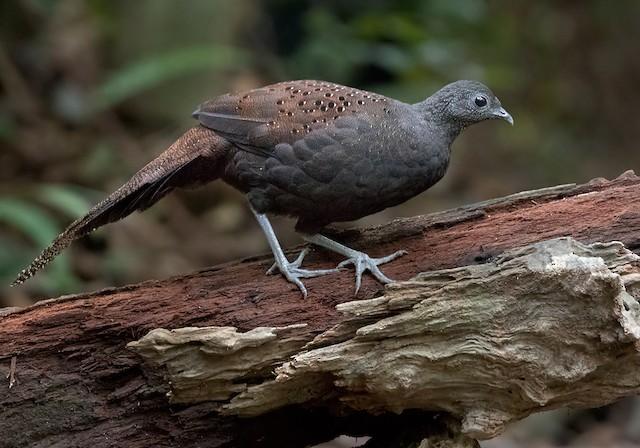 Mountain Peacock-Pheasant