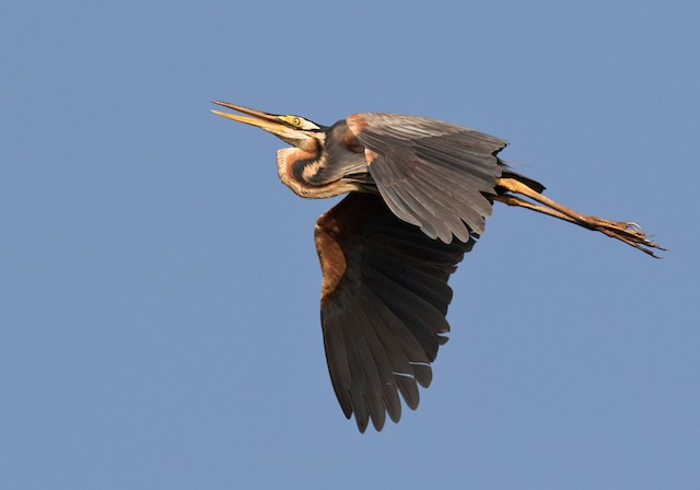 Purple Heron (Purple)