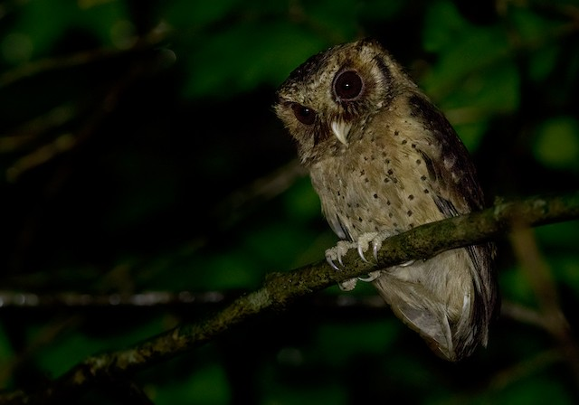 Reddish Scops-Owl