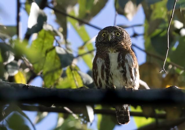 Collared Owlet (Sunda)