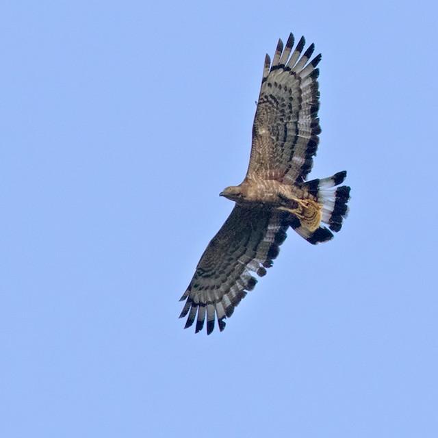Oriental Honey-buzzard (Indomalayan)