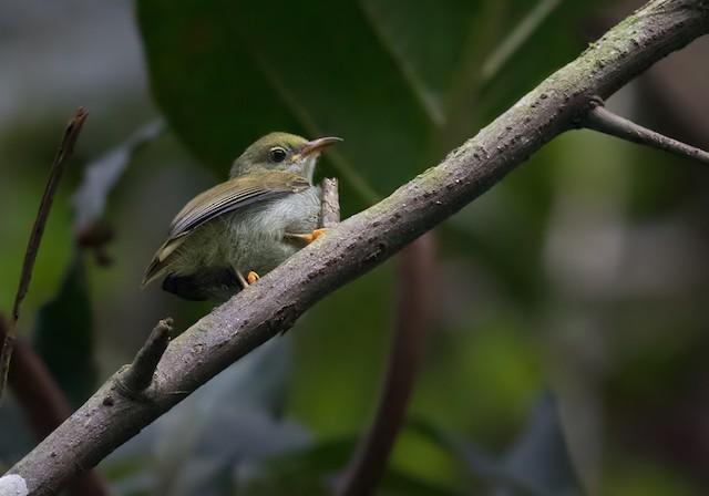 Plain Sunbird
