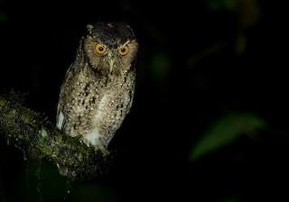 - Rajah Scops-Owl (Sumatran)
