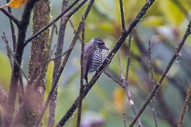 Speckle-chested Piculet