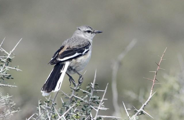 White-banded Mockingbird