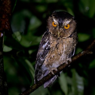Javan Scops Owl Otus Angelinae Birds Of The World