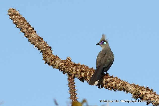 Crested Coua (Chestnut-vented)