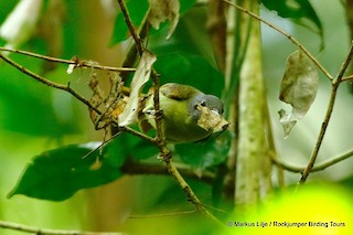 - Gray-headed Sunbird