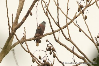 - Bronze-naped Pigeon