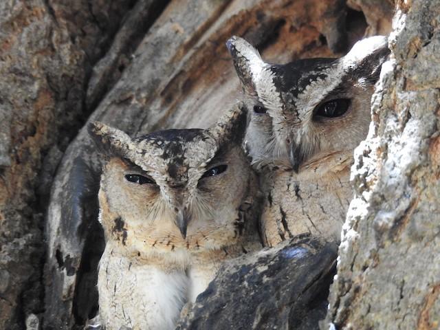 Indian Scops-Owl