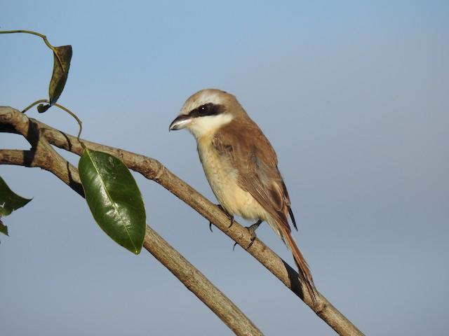Brown Shrike (Brown)