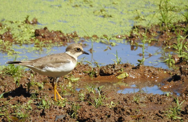 Little Ringed Plover (dubius/jerdoni)