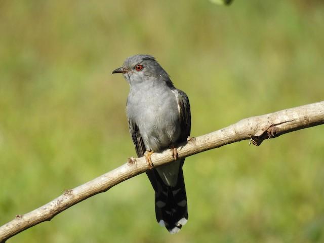 Gray-bellied Cuckoo