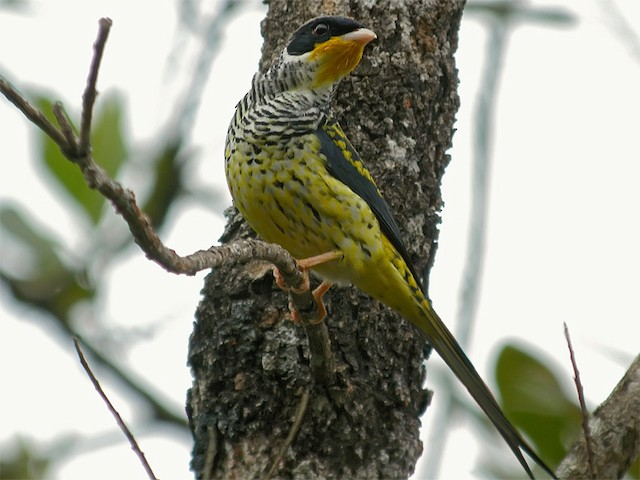 Swallow-tailed Cotinga (Swallow-tailed)