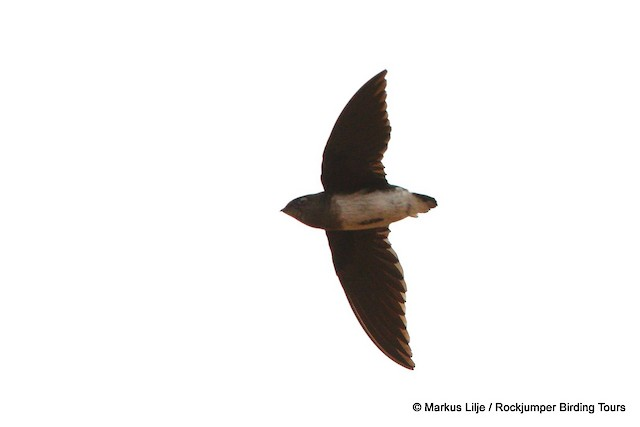 Cassin's Spinetail