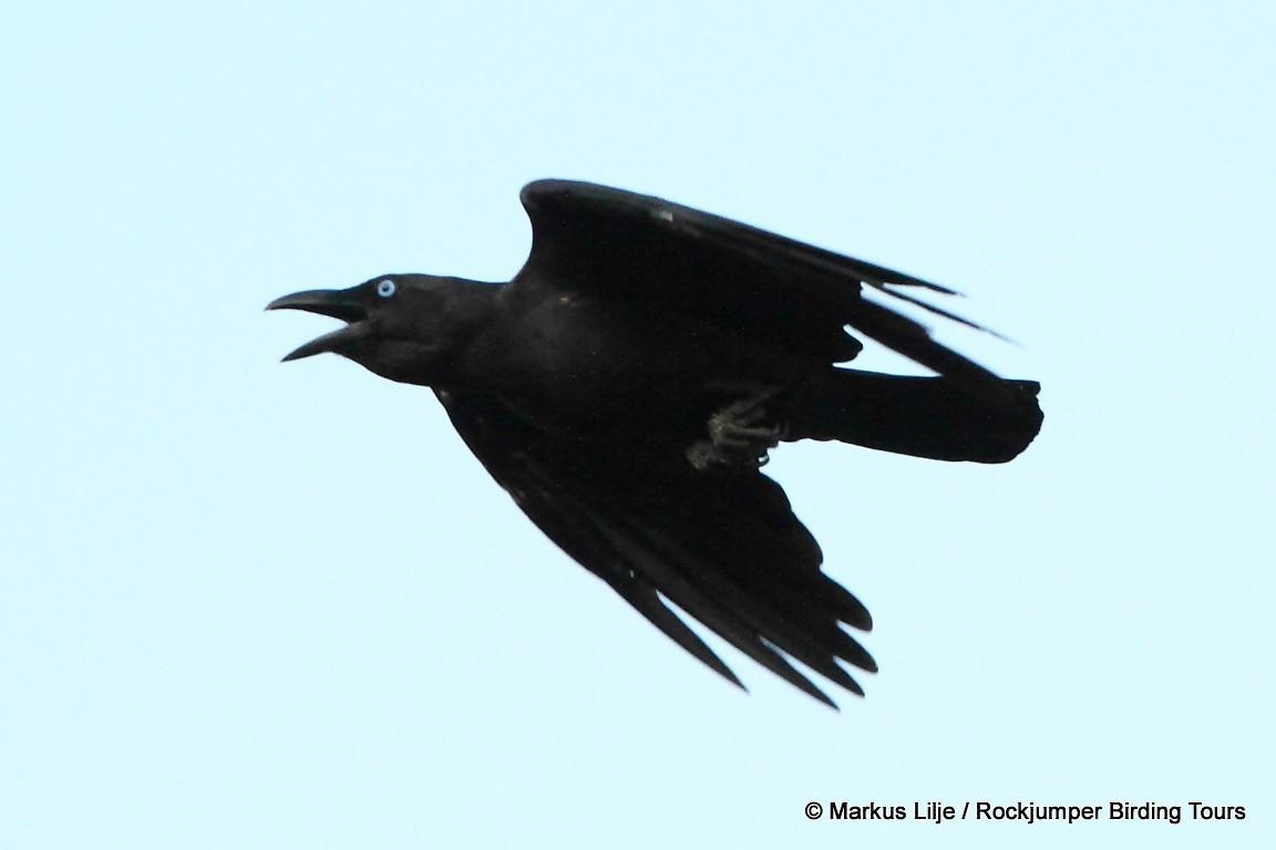 Bismarck Crow - Markus Lilje