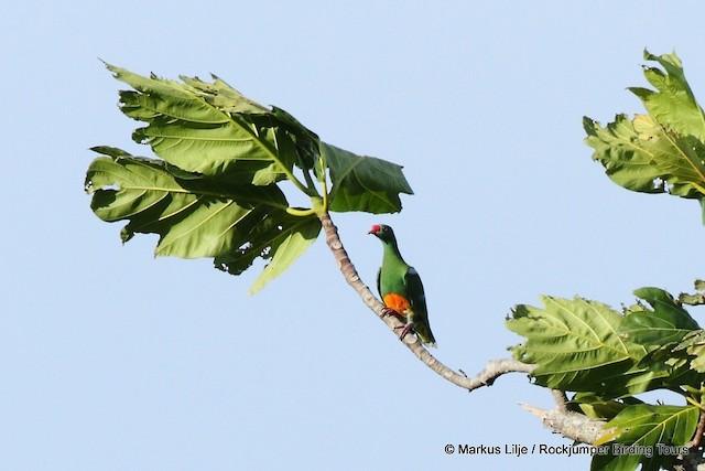 Knob-billed Fruit-Dove