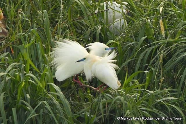 Madagascar Pond-Heron