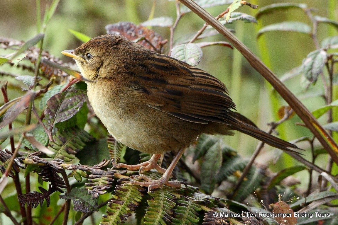 Papuan Grassbird - Markus Lilje
