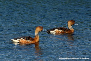 Fulvous Whistling-Duck, ML206148671