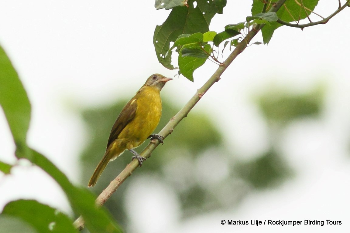 Golden Greenbul - Markus Lilje
