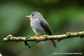 - Yellow-footed Flycatcher