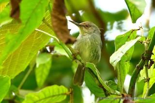 - Long-billed Tailorbird (Long-billed)