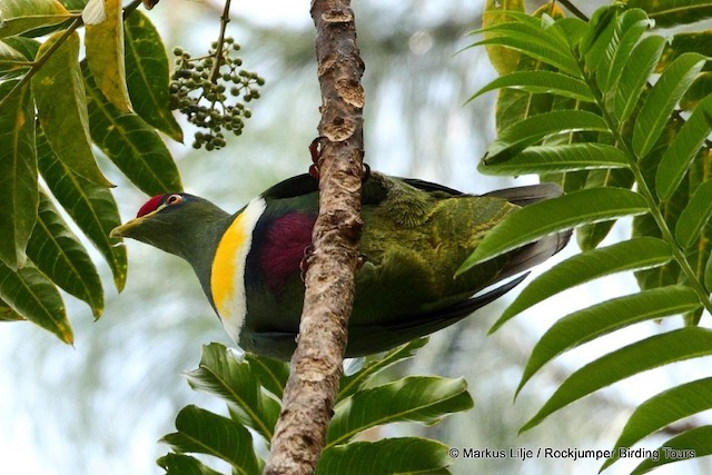 White-breasted Fruit-Dove