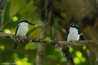 - New Britain Kingfisher