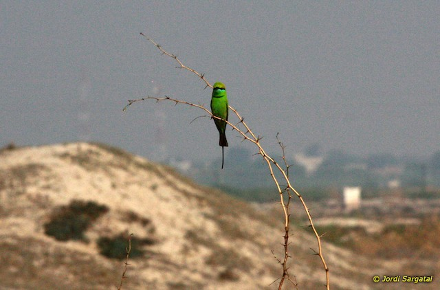 Green Bee-eater (Russet-crowned)