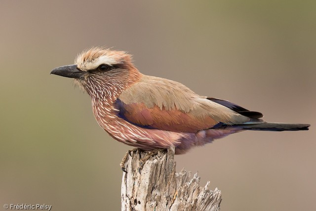 Rufous-crowned Roller
