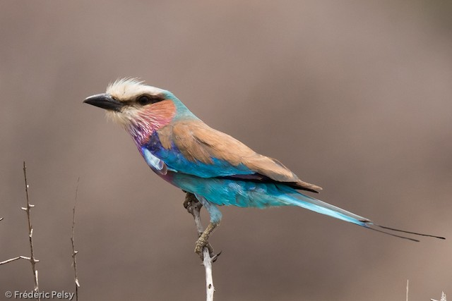 Lilac-breasted Roller (Lilac-breasted)