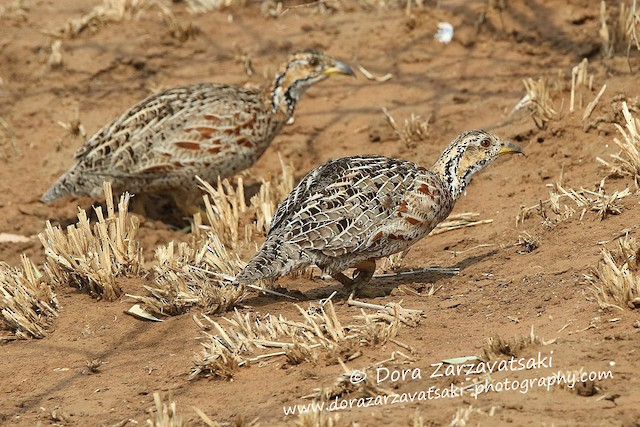 Shelley's Francolin (Shelley's)