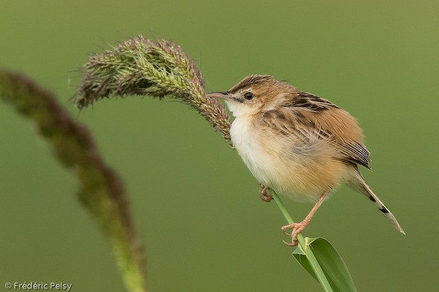 Zitting Cisticola (tinnabulans Group)