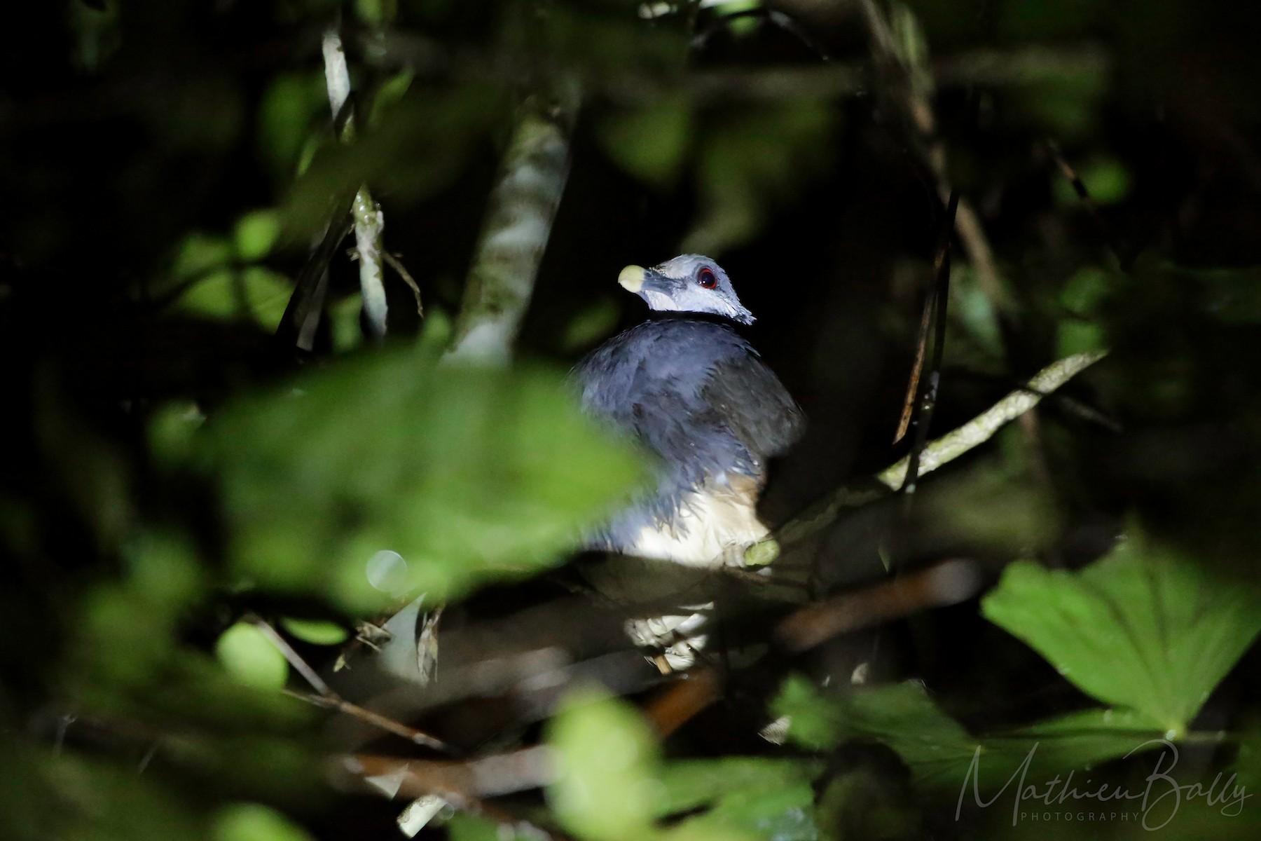 Thick-billed Ground-Pigeon - Mathieu  Bally