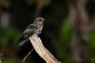 - Papuan Nightjar