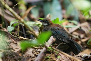 - Chestnut-backed Jewel-babbler