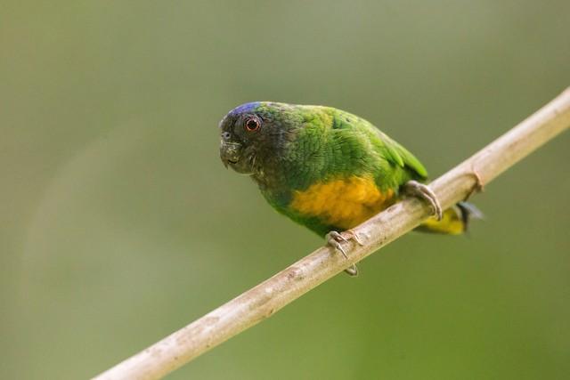 ©Mathieu  Bally - Geelvink Pygmy-Parrot