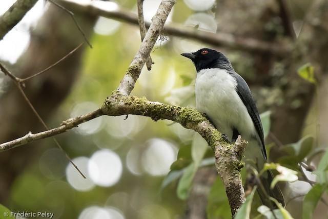 Pygmy Cuckooshrike