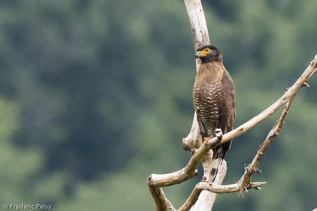 Sulawesi Serpent-Eagle