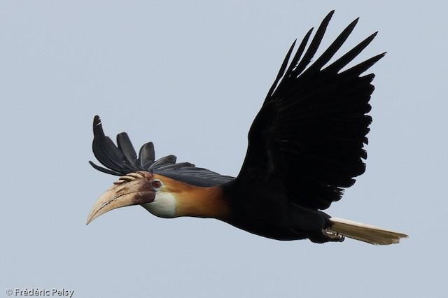 Blyth's Hornbill
