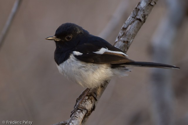 Madagascar Magpie-Robin (White-winged)