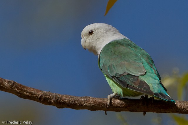 Gray-headed Lovebird