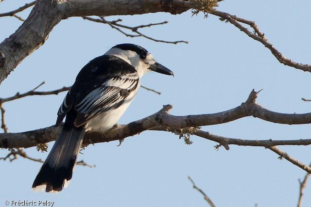 Hook-billed Vanga (Black-crowned)