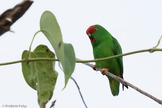 - Moluccan Hanging-Parrot